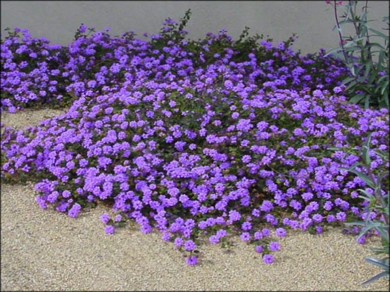 Purple Lantana