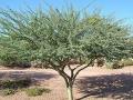 Palo Brea Tree