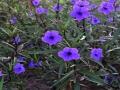 Purple Ruellia