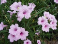 Pink Ruellia Katie