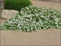 White Lantana